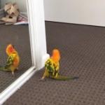 鏡の中の自分と踊るインコ!