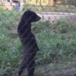 本当に熊なの!?どう見ても人間のオッサンのように歩く熊!