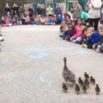 可愛すぎ儀式!カルガモの親子を学校全体で池に導く!