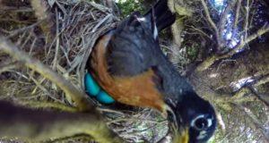 衝撃ッ!卵を温める親鳥の巣をカメラで撮影してみたら・・・