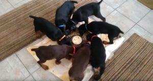 なんでなの!?風車みたいに回転しながらエサを食べる7匹の犬!