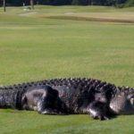 ゴルフ場で暮らす巨大ワニが大人気!悠然と歩く4.5mのワニ!