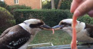 ボクの!アタシの!餌の肉を離さない2匹の鳥に飼主がイタズラ!