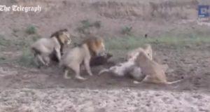 ラッキーな水牛!ライオンの群れから生還!