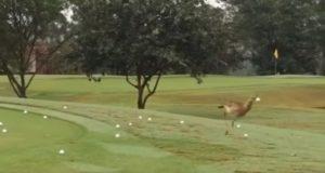 鳥の全力を見よ!ゴルフボールを思いっきり地面に叩きつける鳥!