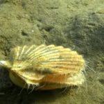 生きてるホタテの泳ぎ方!貝とは思えない素早さに注目!