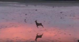 幻想的!朝のビーチで跳ねる小鹿!