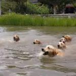 泳ぐ16匹の犬!飼主と一緒に泳ぐゴールデンレトリバー!