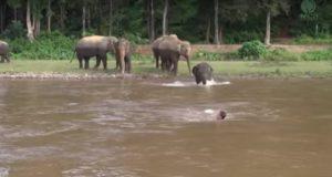 子供の象さん!川で流されている男性を助けようとする!