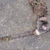 モグラ立往生!舗装タイルの隙間から顔を出すモグラ!