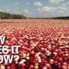水面ぎっしり!幻想的なクランベリーの収穫方法!