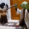 ヨーダ型の猫じゃらし機vsジェダイ騎士コスプレ犬猫(低クオリティ)