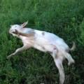 驚くと体が固まっちゃうヤギさん!でも心配しないでね。こういう習性なのだから!