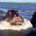 カバがボートを追いかけるスピードが凄い!カバの泳ぐ速さが尋常じゃない速度!
