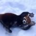 究極可愛いレッサーパンダ!雪の中で戯れる!