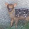 世界最小の鹿プーズーの赤ちゃんが予想以上に可愛かった!