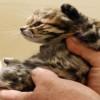 猫の世界最小種「クロアシネコ」がキュートすぎ!